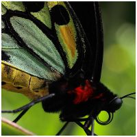 Cairns Birdwing Detail by GreenEyedHarpy