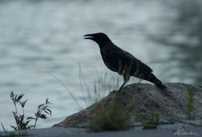 Hooded Crow by Council66