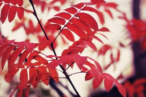 Red leaves by Ur6o