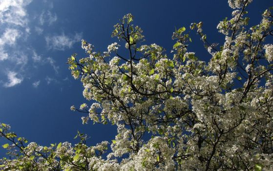 Tree Blossoms 2 by Leitmotif