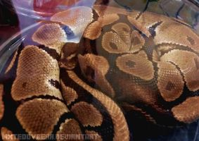 Normal Ball Python by MxTeddybear