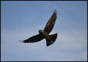I'm a Black Hawk by FrankAndCarySTOCK