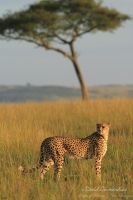 Cheetah and Acacia by david-grimardias
