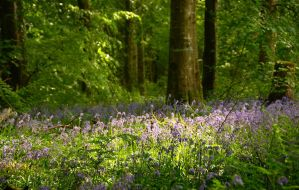 Garvagh Forest bluebells I by younghappy