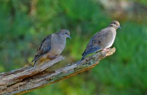 2 Doves 10-21-14 by Tailgun2009