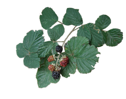 Bramble PNG.. by WelshDragonStockNArt