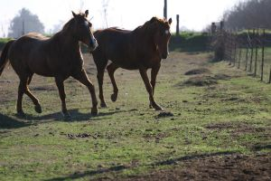 Chestnut Thoroughbred and Red Roan Quarter Horse by HorseStockPhotos