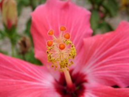 Bright Pink Tropical Flower 2 by FantasyStock
