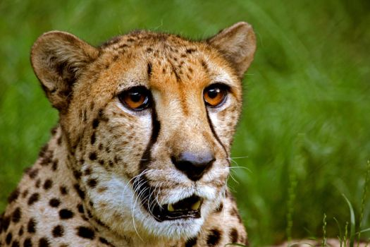 cheetah 2 by mightylens