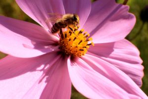 Honey Bee on a Flower by Darklordd