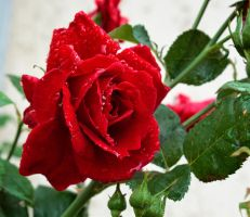 Red rose by sztewe