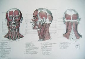 Muscles of head and neck by reinisgailitis