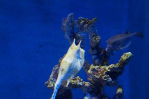 Boxfish and Pufferfish by Roses-and-Feathers