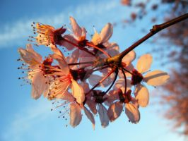 plum tree by campbell16