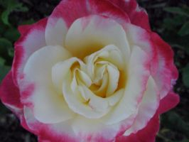 PaintingTheRoses:Pink by dollyderanged