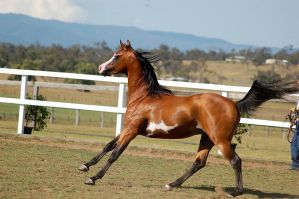 GE arab pinto canter tail right up side by Chunga-Stock