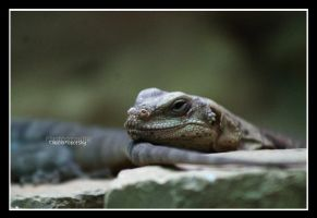 gray lizard by declaudi