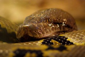 Reticulated Python by MicWits101