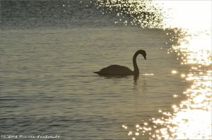 The golden swan. by secludedspace