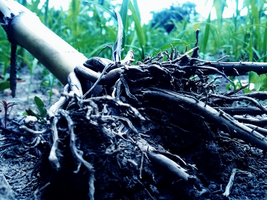 Roots by mrcropp