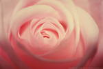 Day 61 - La Bella Rosa by MonsterBrand