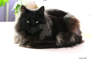 Norwegian Forest Cat by louise2670