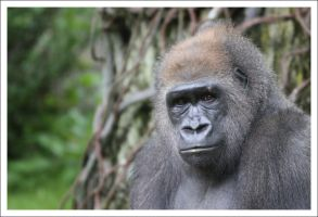 Gorilla - 2781 by eight-eight