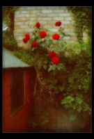 Red Roses by Forestina-Fotos