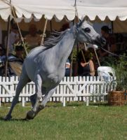 TW Arab white front on head to side canter by Chunga-Stock