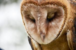Barn Owl by tinroof