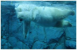PolarBear Photo1 by kermittheotherfrog