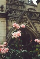 Roses of Notre-Dame by Solyarise
