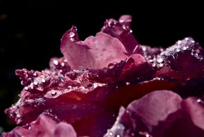 Water Droplets on a Rose by doninator