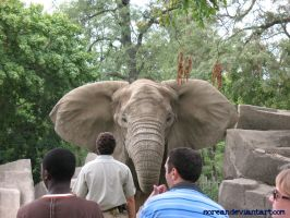 African Elephant2 - Brookfield by sorean