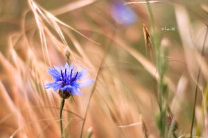 Kornblumen II by Lain-AwakeAtNight