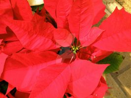 Poinsettia by pygmalion22