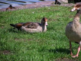 goose 03 by Pagan-Stock