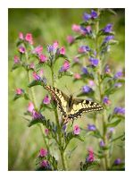 Machaon by Ernestine-SB