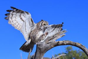 Great Horned Owl 7924 by mammothhunter