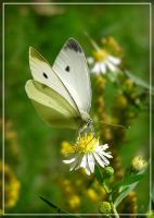 Cabbage White on Aster II by MuseSusan