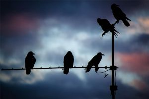 Crows in the dusk by sebastianmirgeler