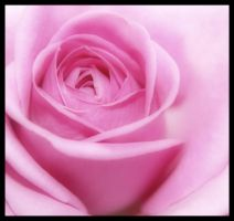 a pink rose 3 by mzkate