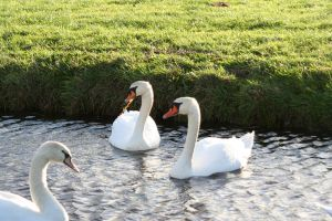 double swans 2 by priesteres-stock