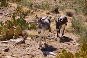 Grand Canyon Wild Burros by Caloxort