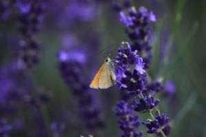 lavender and small by gabitur