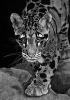 Yim - The Clouded Leopard by SAU21866