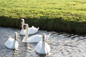 quartet swans by priesteres-stock