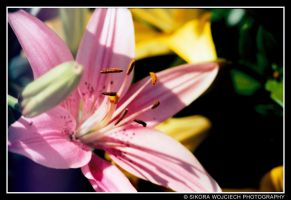 Pink Lilly by myblesgb