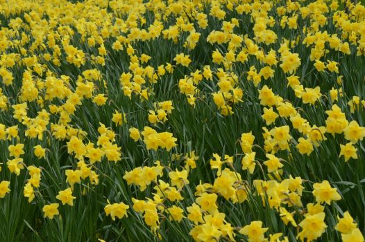 Daffodils at Hyde Hall by Livvy583