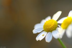 Cry for me  Camomile flower by Alex-Br